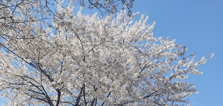 Cherry blossom season hot spots in Seoul